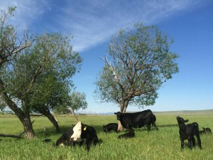 yellowstone grassfed beef calves